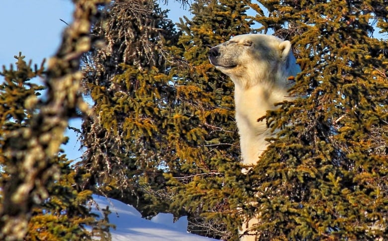 Radio Canada Cote Nord >> Polar Bear Makes Rare Appearance On Quebec S Lower North