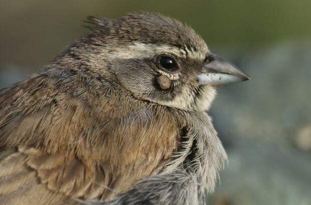 Lifer black throated sparrow