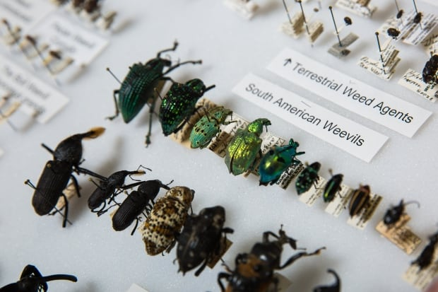 ASU Now - O'Brien Weevil/Plant Hopper Collection