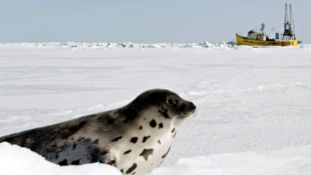 A harp seal looks towards a seal boat from Newfoundland as he sits on a ice floe in the Gulf of St. Lawrence, P.E.I.