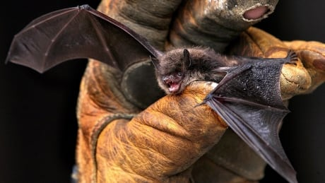 U.S. group funds Canadian research treatments for deadly bat disease