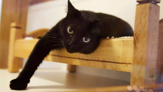 'It is evident that felines suffer needlessly when undergoing this surgery as an elective measure,' Dr. Troy Bourque, says the head of the Canadian Veterinary Medical Association.
