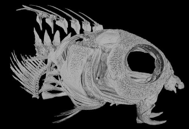 Fang blenny skeleton