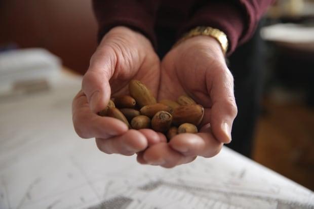 Vimy oaks acorns
