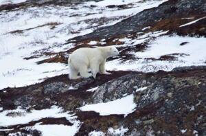 Polar bear New Wes valley