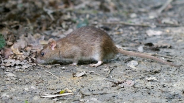 A homeowner in Moncton is asking the city to help with a rodent infestation. The city says it doesn't not have jurisdiction over private property.