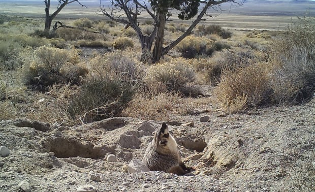badger-buries-cow-sunning
