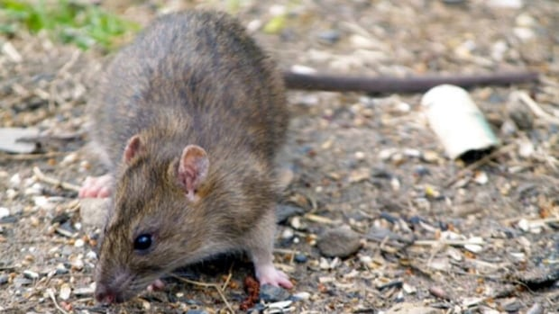 A pest control company told one resident the rats are not afraid of people.