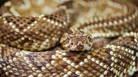 New DNA research may help conserve threatened rattlesnake species