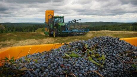 Wild blueberries collected in Nova Scotia
