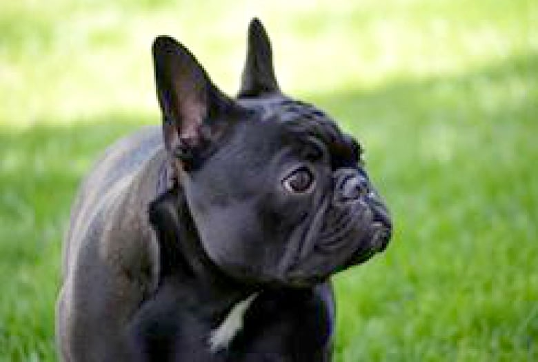 French Bulldog Breeders In Alberta Worry Puppies Being Targeted By