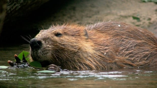 Beaver mesmerizes Saskatchewan cattle -- how Canadian!