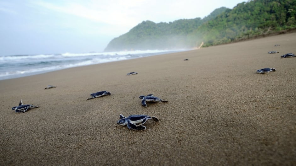 When sea turtles are born, they instinctively know to move towards the ocean.