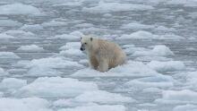 Polar bear catalina