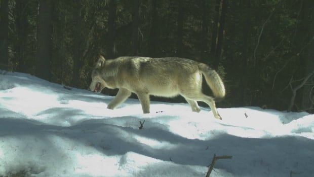 The Bow Valley wolf pack near the Banff townsite is down to two members after a two-year-old male was shot and killed by hunters in B.C. after leaving the park.