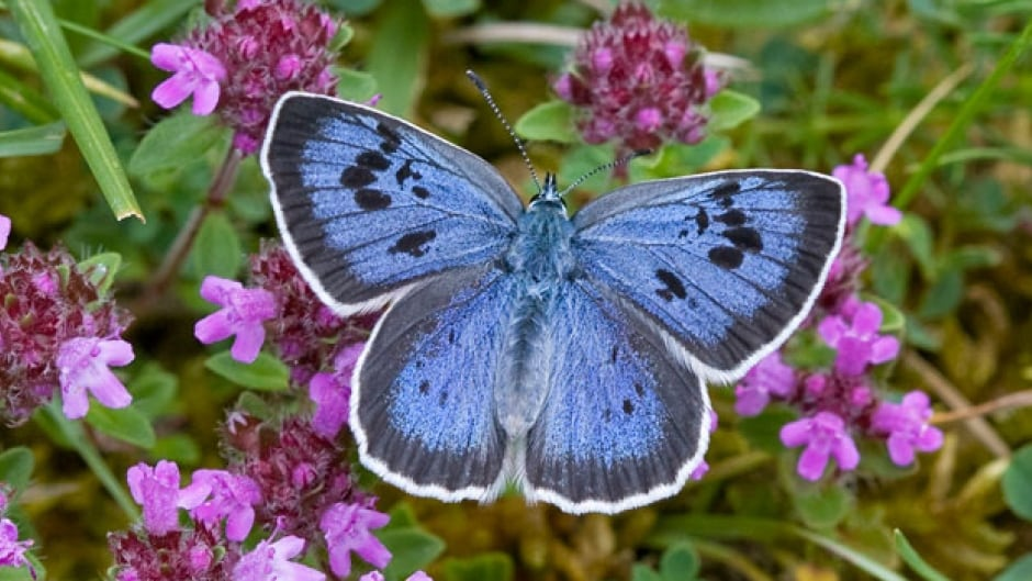 The large blue went extinct in Europe in 1979, but its population is starting to grow again thanks to long-term conservation efforts.