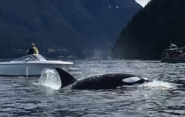 Howe Sound orca