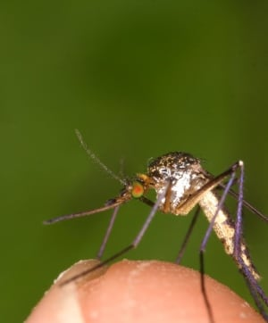 Mosquito on finger