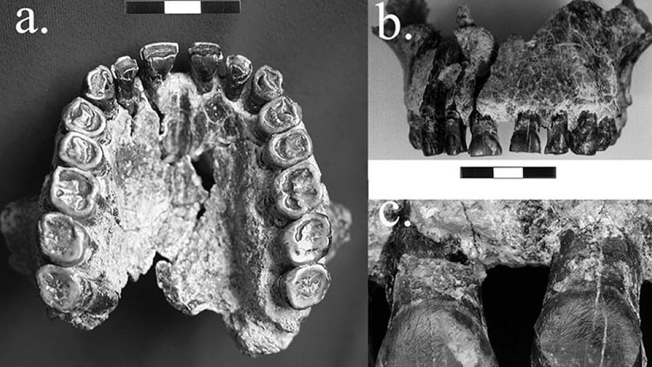 1.8 million year old fossil teeth indicate right-handedness.