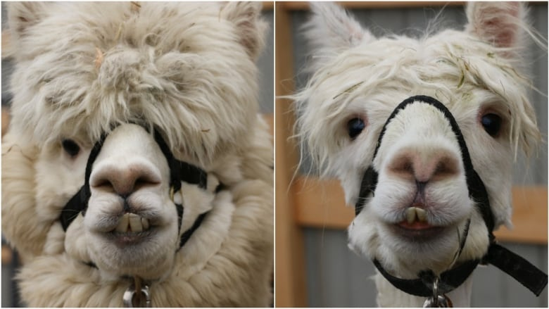 d92bc521983a2 They can be a handful': Alpacas get free hair cuts at Langley farm ...