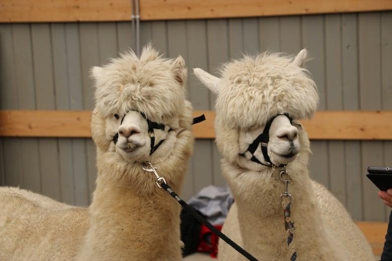 0f38258dfde5d A pair of alpacas eagerly await their turn on the shear machine. (Jon  Hernandez/CBC)