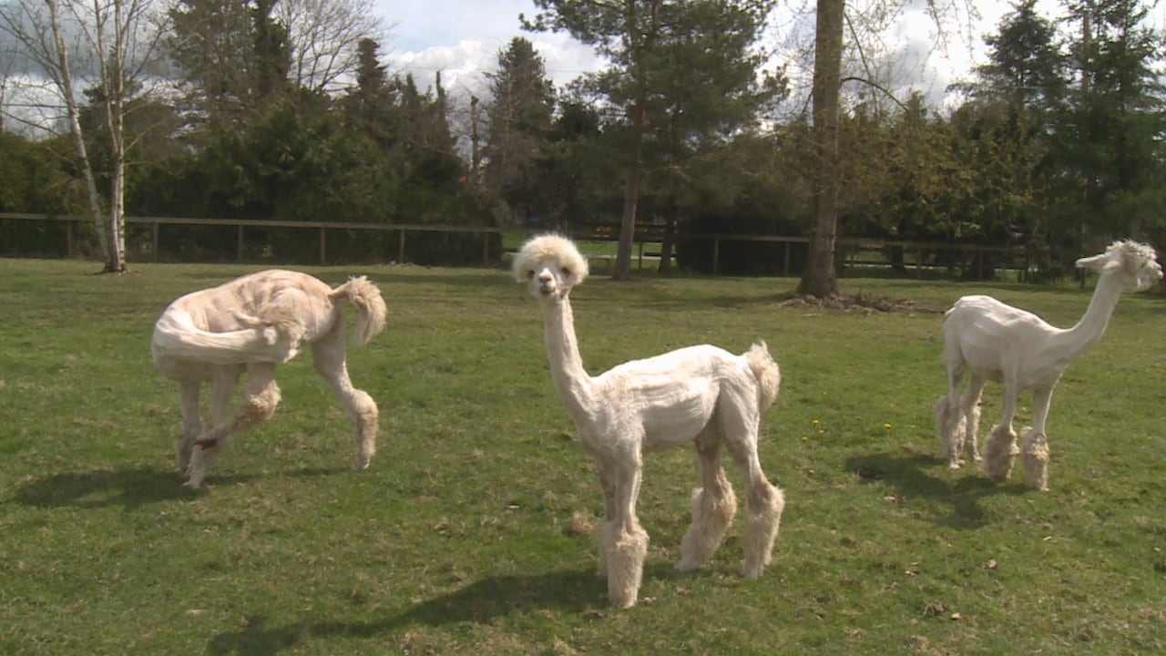 8473050b1286b 'They can be a handful': Alpacas get free hair cuts at Langley farm | CBC  News