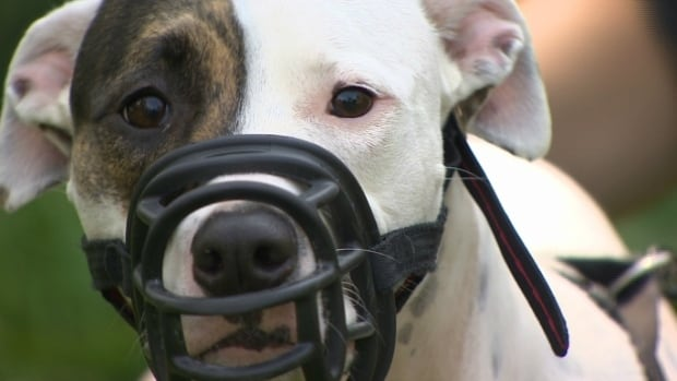 Quebec Public Security Minister Martin Coiteux says pit bulls will eventually be banned across the province.