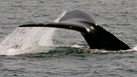 Right Whale Resurgence