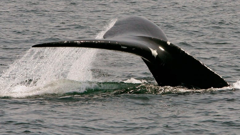 Protecting right whales needs a more proactive approach: researcher