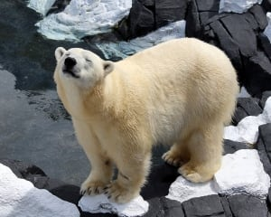 Szenja Polar Bear Dies
