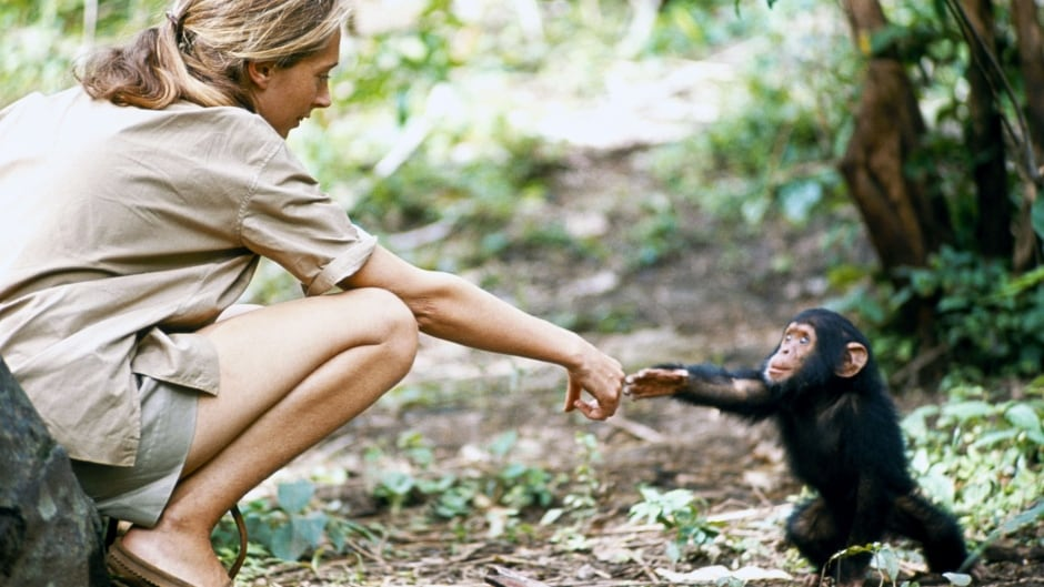 Jane Goodall was 26 when she embarked on her long-term chimpanzee study in Gombe Stream National Park, Tanzania. Goodall later turned her efforts to conservation of chimpanzees and their habitats across Africa.