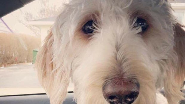 This photo of Cooper, the labradoodle that escaped after it was put on the wrong WestJet flight, has been circulating on Facebook and Twitter.