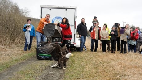 Eagle takes off in MB after recovery