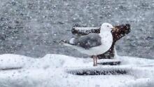 Seagull enjoying 'sprinter'