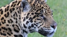 Mia the jaguar