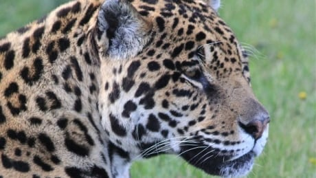 Arthritic Alberta jaguar treated with cutting-edge human procedure