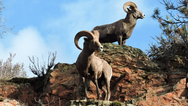 Okanagan Bighorn Sheep rams