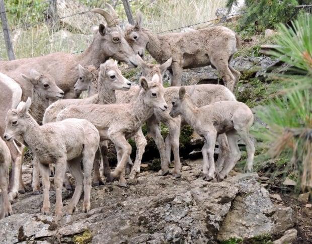 Okanagan Bighorn sheep ewes and lambs