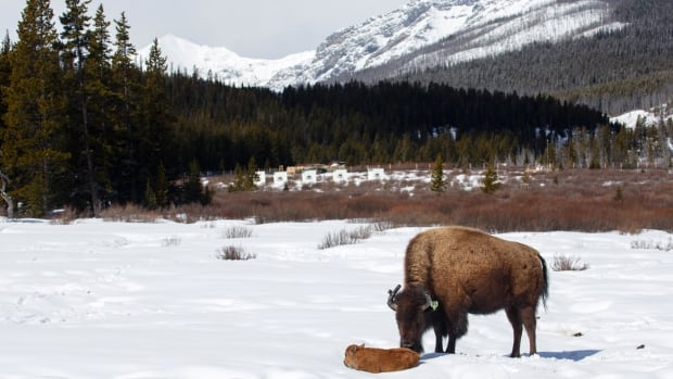 It's a bouncing baby bison in Banff