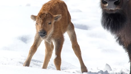 Baby bison Banff