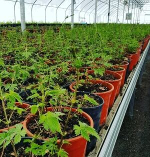 Small hops in greenhouse
