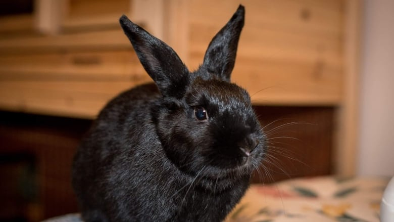 Yes You Can Turn Feral Baby Bunnies Into Pets But Officials Advise Against It Cbc News