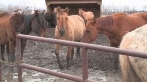 horses in mud leduc