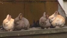 Bridgeland bunnies