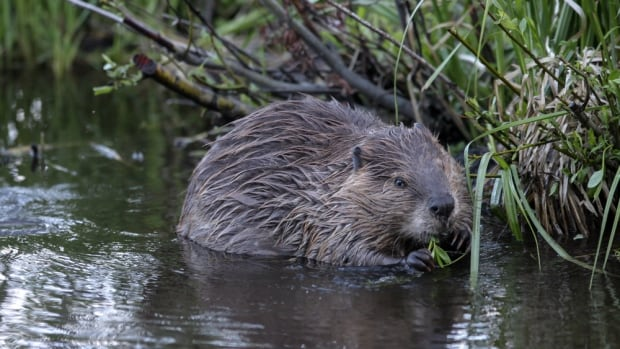 New research shows beavers help restore important freshwater habitats.