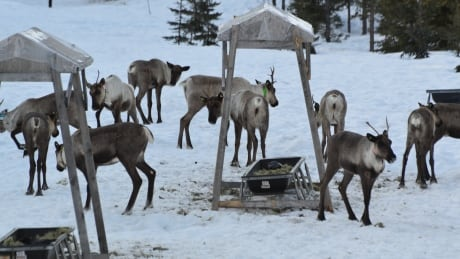Pregnant caribou take up residence in Revelstoke maternity pen