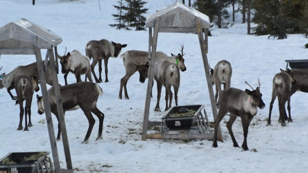 Pregnant caribou have been placed in a Revelstoke-area maternity pen to safely birth their calves.