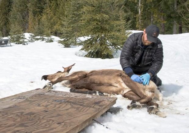 Tranquilized caribou