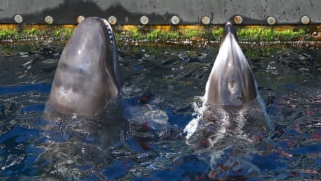 Vancouver Aquarium pushes back on cetacean ban