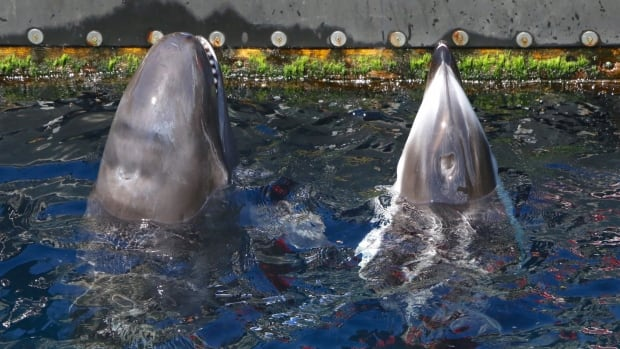 Chester, a false killer whale, and Helen, a Pacific white sided dolphin, poke their heads out of the water at the Vancouver Aquarium, as they wait for fish from a trainer.